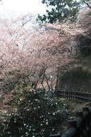 音無山の桜です