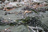 榊です。じゃなくて海草です