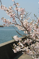 堤防沿いに桜