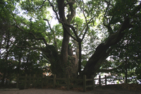 でっかい木なんです
