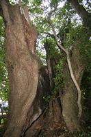 樹齢2000年てか!
