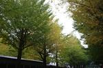 宇治工作所の銀杏並木