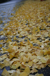 イチョウの葉っぱが道を覆います