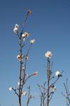 咲いてました冬桜!