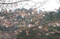 南斜面の桜