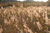 葦原な風景