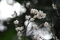 桜サクラ…