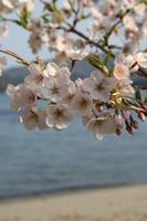海と桜はとてもいいのです