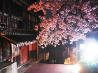 麻吉前の八重桜