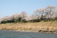 宇治・五十鈴川・桜
