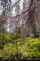太江寺名物・藤の花