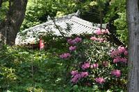 石楠花も満開!