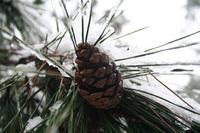 松の木にも,雪…